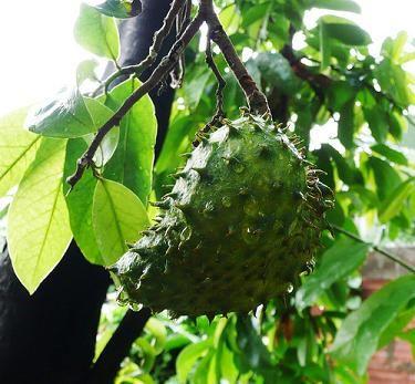 La influencia de la guanábana en el Cáncer. Conózca las virtudes y bondades curativas de esta planta y fruto en el tratamiento del Cáncer.