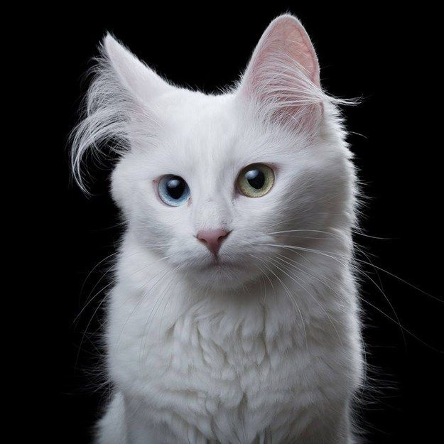 TURKISH ANGORA ~ An ancient breed of cat,  originating in Turkey. Known for their long silky coats & elegant bodies, a large number of Angora cats are white w/ 2 different-colored eyes. They are intelligent & bond w/ humans, often choosing a member of the family to be their favorite | Photographer Rob Bahou
