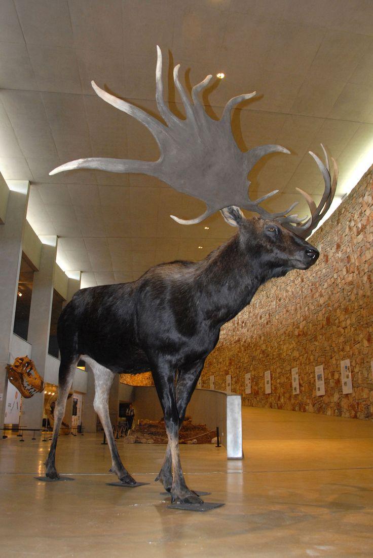 Le mégacéros est l'ancêtre de l'élan. Sa ramure pouvait atteindre 4 m d'envergure et peser jusqu'à 50 kg. #megaceros