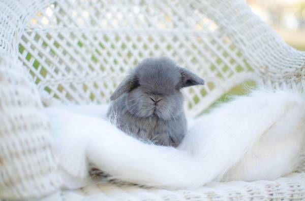 Dwarf holland lop and dwarf lionhead baby bunnies