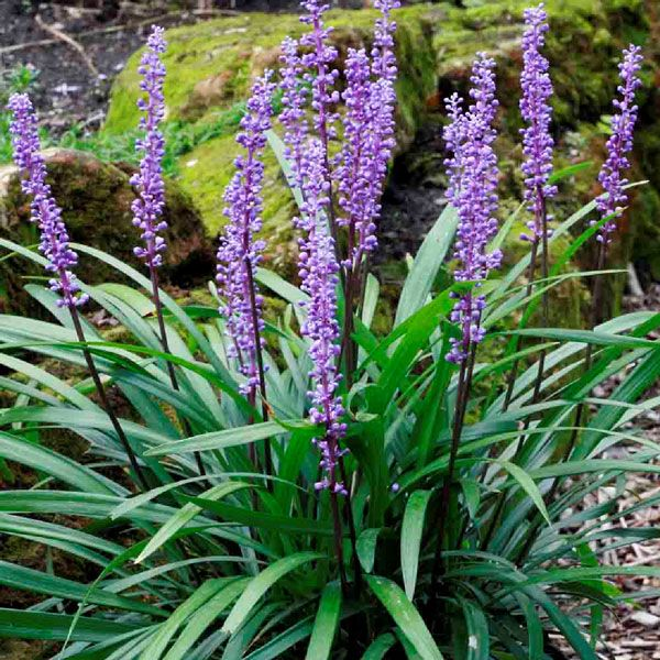 Liriope muscari has wonderful short spies of purple flowers in mid-late summer and grows well in shady conditions.