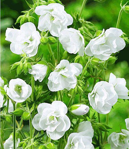 Diese brandneuen, aus England stammenden Geranien sind winterhart wie Stauden-Geranium und überraschen sie im Sommer mit einer monatelangen, gefüllten Dauerblüte, die an die bekannte Balkongeranie erinnert! Extrem leuchtstark, schön aufrecht wachsend.