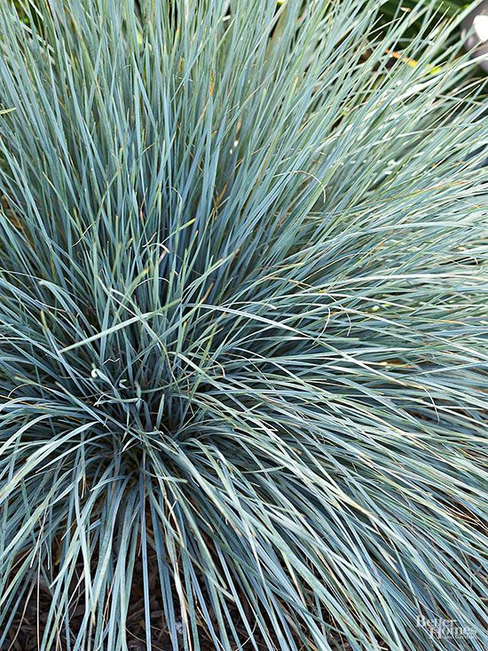 This tall grass has broad, bluish blades and grows into a large, handsome clump. 'Canyon Prince' is a popular selection. Name: Leymus (Elymus) condensatus Growing Conditions: Grow in full sun to full shade. Very little irrigation after established. Size: 3-6 feet tall and wide Zones: 6–10