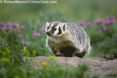 """The badger was designated the official state animal of Wisconsin in 1957.Wisconsin's nickname is""""The Badger State""""because miners dug tunnels into hillsides searching for lead in the 1800's,reminding people of badgers.Found throughout Wisconsin,badgers are short,stocky, solitary animals with long thick claws.Badgers stay hidden inside their shallow dens during the day, hunting mostly at night for small animals found in grasslands like pocket gophers, ground squirrels, rabbits,and small birds"""