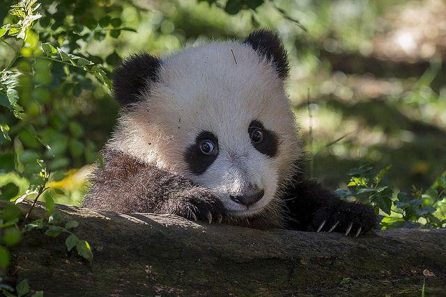 "Watch ""Mr. Wu"" get familiar with his exhibit on Panda Cam: www.sandiegozoo.org/pandacam"