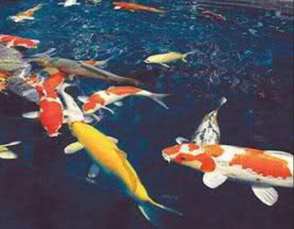 Cyprinus Carpio o più comunemente carpa, è un pesce d'acqua dolce originario delle regioni dell'europa orientale, è diffusa in tutta europa, asia minore e cina