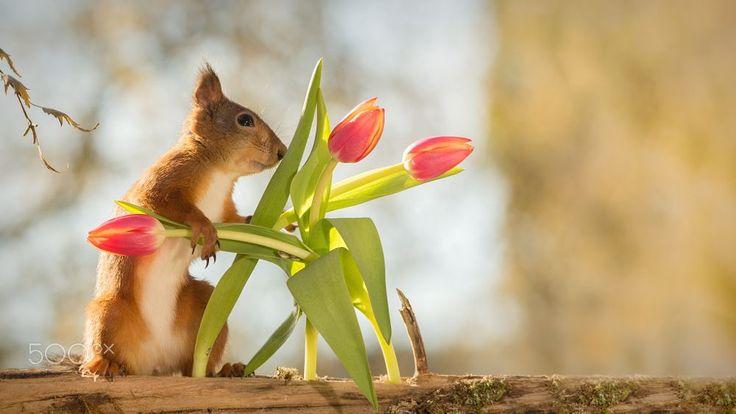 tulip care by Geert Weggen on 500px