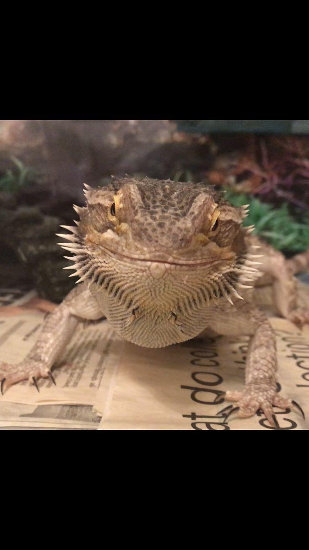 Mejores 89 imágenes de Bearded Dragon en Pinterest   Barbas ...