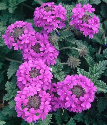 """Verben Homestead Purple: Vigorous grower covered with medium dark purple flowers with dark green foliage all summer..dbe careful to only use it in the proper place...large expanses like service stations and interstate medians, or to cover junked cars.  Pot Size: 3.5"""" (24 fl. oz/709.77 ml)  In Stock  Zone: 6-10, Height: 8"""", Culture: Sun, Origin: Hybrid  # 1150"""