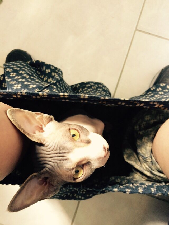 No privacy at all with a #sphynx
