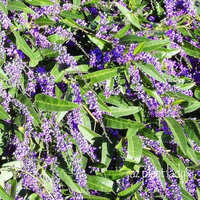 Purple Lilac Vine (Hardenbergia violacea)