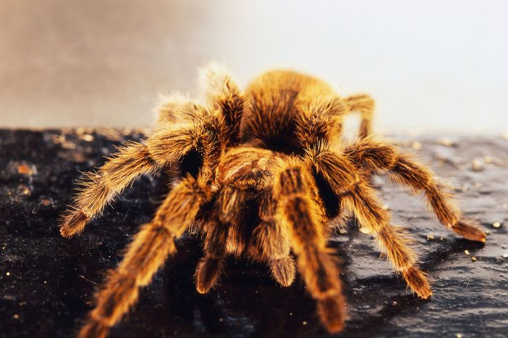 Find out how to care for a Chilean Rose Tarantulas (Grammostola rosea) as a pet, including feeding and housing requirements.