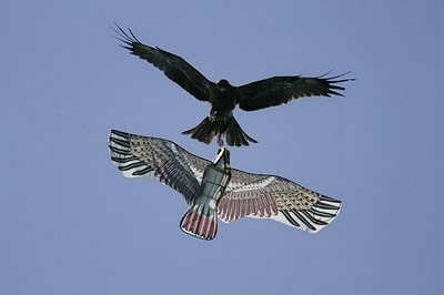 Falcon attacks a falcon-like kite during a kite flying contest.