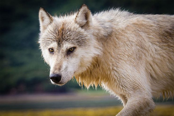 There could be big changes on the horizon for the way the state of Washington manages its wolf population to minimize the conflicts between wolves and