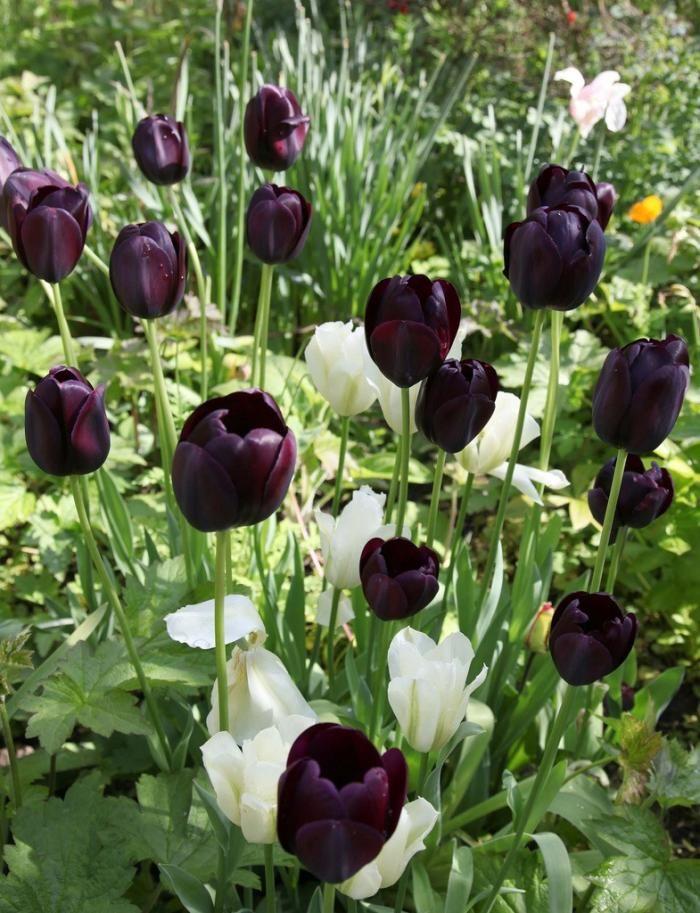 remodelistaWhite Flower, Gothic Gardens, Black And White, Tulip Gardens, Modern Tulip, Black Tulip, Tulip Queens, Flower Farm, White Tulip