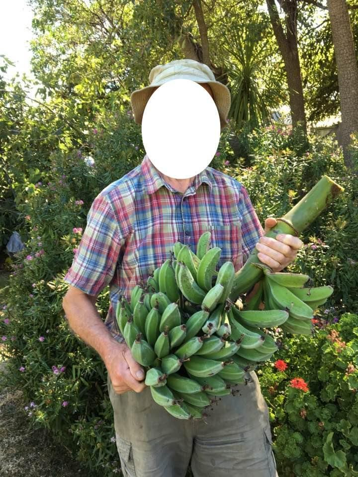 "Someone told my 86yr old Grandpa that ""it's impossible to grow bananas in Melbourne Aus"" #gardening #garden #DIY #home #flowers #roses #nature #landscaping #horticulture"