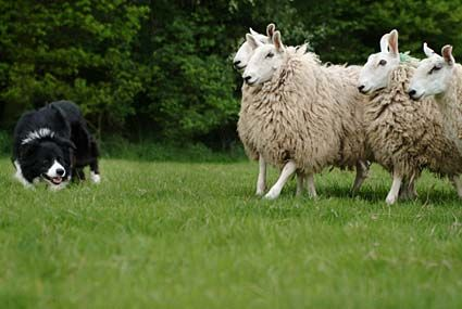 A working sheepdog is worth its weight in gold