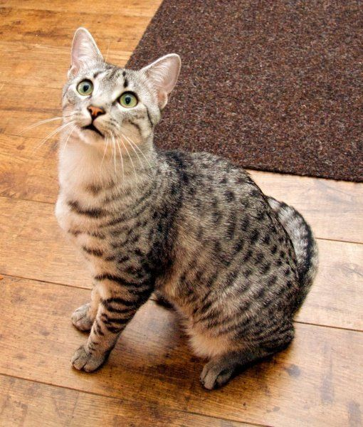 10 Egyptian Mau Cat Facts - Cats Tips & Advice | mom.me