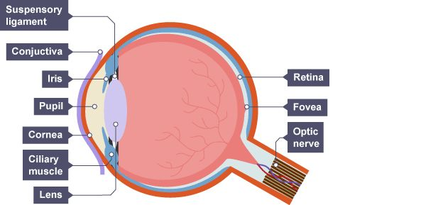 At front is conjunctiva behind which is cornea. Pupil is the lens. Suspensory ligaments attach the lens to the ciliary muscle. At the back of the eye is retina, fovea and optic nerve.