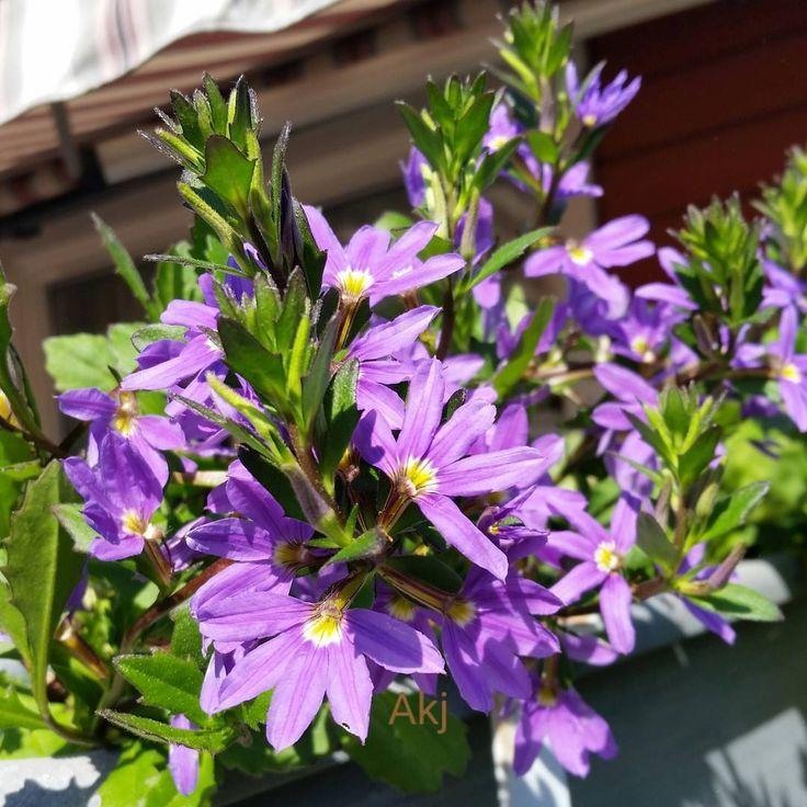 God morgen/Good morning. Ha en fin søndag / Have a great  Sunday��  #good_morning_all #femtunge #bloom #blommor #blader #leaf #outdoor#art #sluttpåvinter #spring#floweroftheday #florals #flower #blomster #bloom #art  #botanical #nyttliv #newlife #florals #flowerslovers #sunny#forår #nature_perfection #beautiful #nature #picture_to_keep #weekend http://gelinshop.com/ipost/1524400053837776116/?code=BUnwcW4lkT0