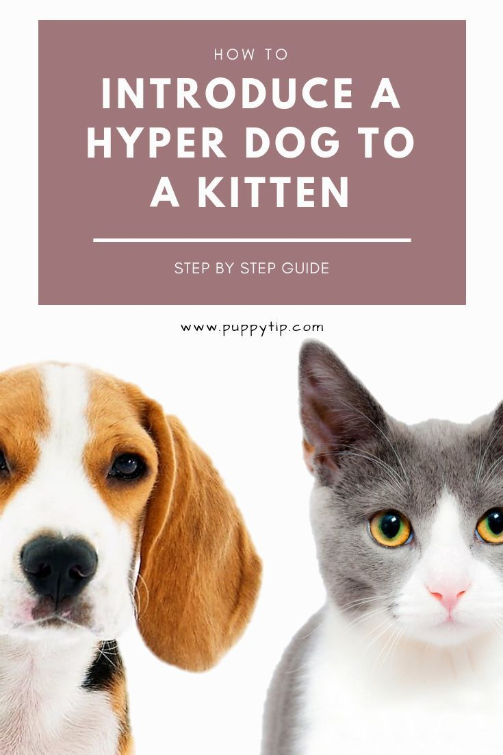 How To Introduce A Hyper Dog To A Kitten In 7 Simple Steps Hyper Dog Easiest Dogs To Train Dog Training