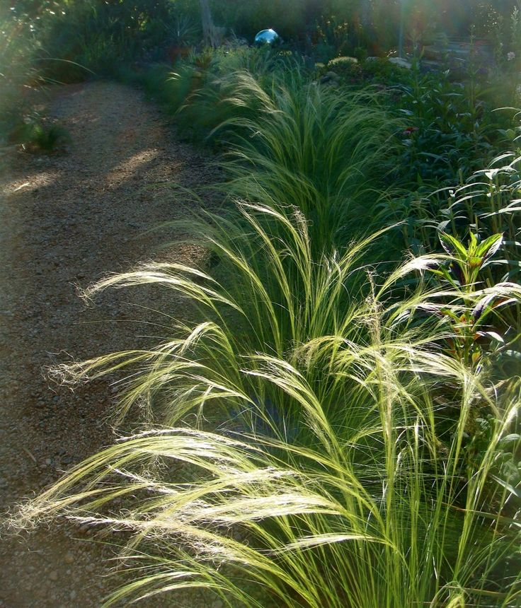 17 best images about mexican feather grass on pinterest for Tall feather grass