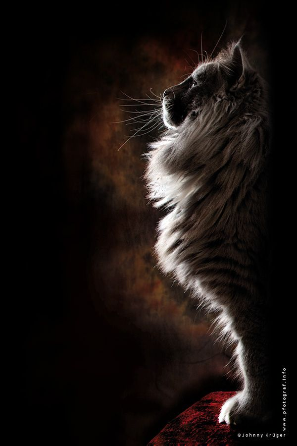 Nordic Sphinx - Norwegian Forest Cat posing like a war god statue or a nordic sphinx