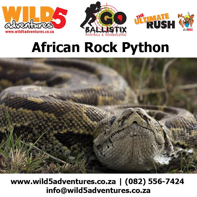 The African Rock Python is a perfect example of one of the beautiful reptiles in South Africa and can be seen at Wild 5 Adventures #Wild5PawPrint Click the link to read more about this amazing animal http://buff.ly/1BMrPlF Wild 5 Adventures has an abundance of wild life and birds that can be enjoyed by anyone. For more info www.wild5adventures.co.za  | (082) 556-7424 | info@wild5adventures.co.za