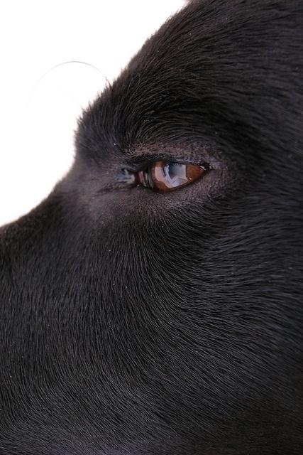 Basho - black labrador