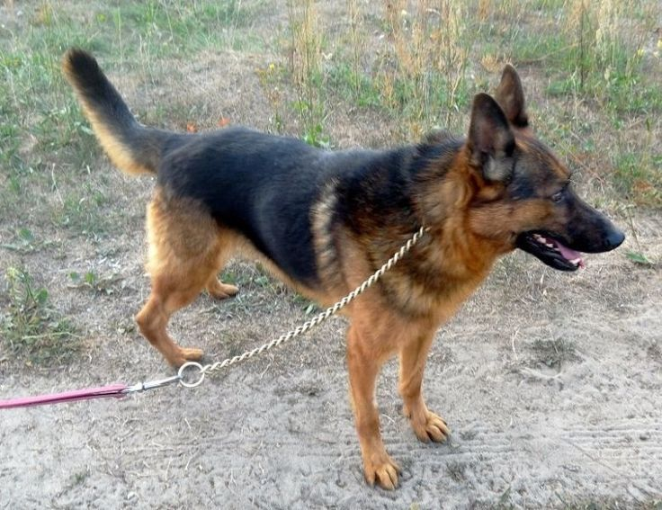 DOLAR Jest mądrym i zdyscyplinowanym psiakiem. Lubi towarzystwo człowieka, nie wykazuje agresji do innych psów. Jest spokojnym i posłusznym psem.Lubi spacerować i zarazem obserwować otoczenie.Ma piękne czarno-brązowe futerko oraz szpiczaste uszy. Jego mordka jest pogodna i przyjaźnie nastawiona:)Dolar to pies towarzysz, przyjaciel, opiekun i pomocnik :) Będzie dla każdego wiernym i oddanym przyjacielem !!!!!!!!