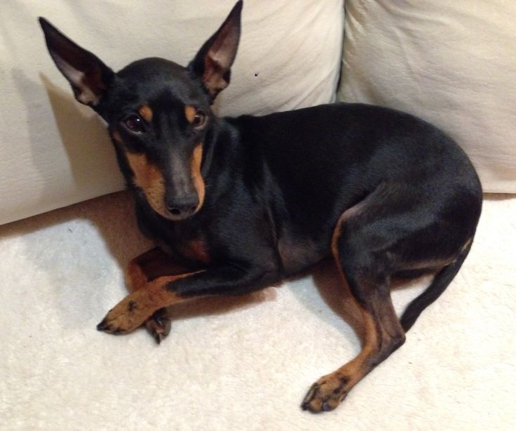 Cute Manchester Terrier Ami Cute Animals Manchester Terrier Rescue Dogs