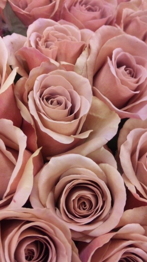 """Garden Rose """"Cafe Latte"""", and oh, what a scent.....Sourced from Parfum Flower Company (PFC) , the European distributor of English garden roses and other natural scented roses. Located in Aalsmeer, PFC imports David Austin Roses, Scented Roses and old English Garden roses."""