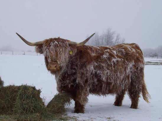 "Uncle Hershel always said ""Scottish Highlanders"" wasn't a good cattle breed.  I like them, though!!"