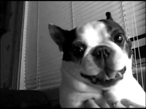 Cute Boston Terrier Gets His Tummy Tickled