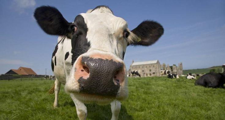 ما تفسير رؤية البقرة في المنام للمتزوجة لابن سيرين موقع مصري In 2021 Cow Pictures Cow Photos Animals