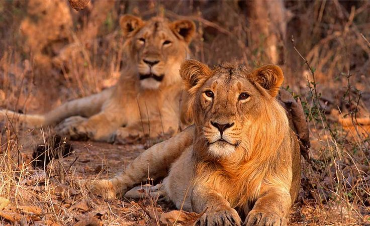 Lions in Gir Forest
