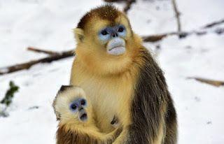 Οι χρυσοί πίθηκοι της Κίνας με τα μπλε πρόσωπα