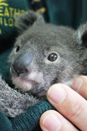 Meet Archer the baby Koala Joey