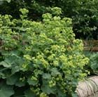 (P9) Alchemilla mollis Deciduous perennial Position: full sun or partial shade Soil: humus-rich soil Rate of Growth: fast-growing Flowering period: June to September Hardiness: fully hardy  No garden should be without this beautiful and useful perennial. It has scalloped, bright green leaves which catch droplets of water that look like quicksilver and from June to September, it produces a frothy haze of tiny, chartreuse yellow flowers. Its ideal planted en-masse for groundcover or edging…