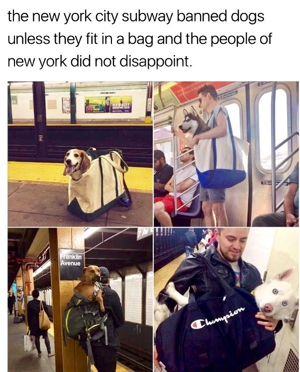 Best Puppies And Dogs Images On Pinterest Jack Russell - Nyc subway bans dogs unless fit bag new yorkers reacted