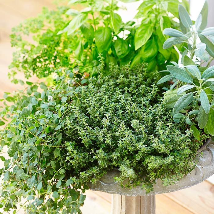 Herbs planted in a birdbath