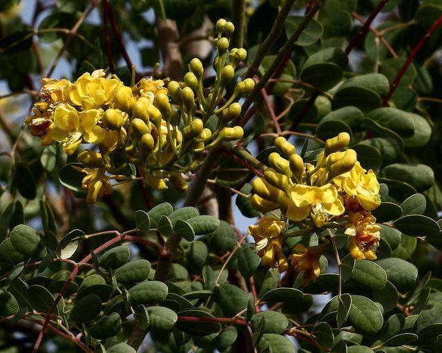 Caesalpinia Cacalaco | Flower