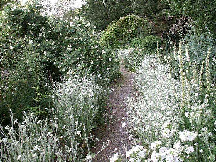 Rosengången i Sparlösa Trädgårds vita trädgård, kantat med moln av vit Purpurklätt.
