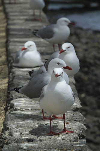 seagulls///MOUETTES////// les mouettes ont généralement un bec fin et rouge, alors que les goélands ont un bec jaune avec une tache rouge dessous.Aussi, leurs pattes sont rouges.