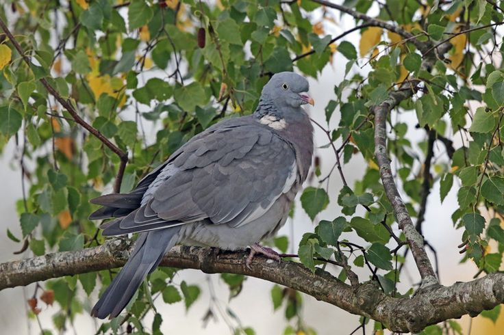 https://flic.kr/p/C2xg4R | Common Wood-Pigeon | Slimbridge Wetlands, UK-1502