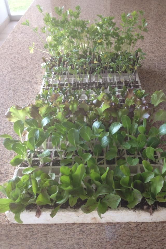 plantas germinadas