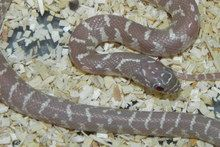 Snow Florida King Snake for sale