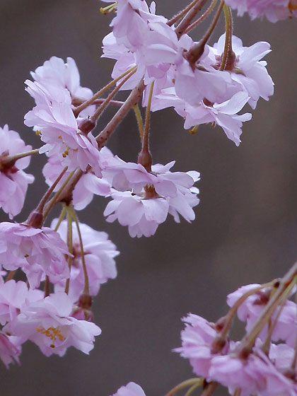 谷中霊園の桜@東京・日暮里