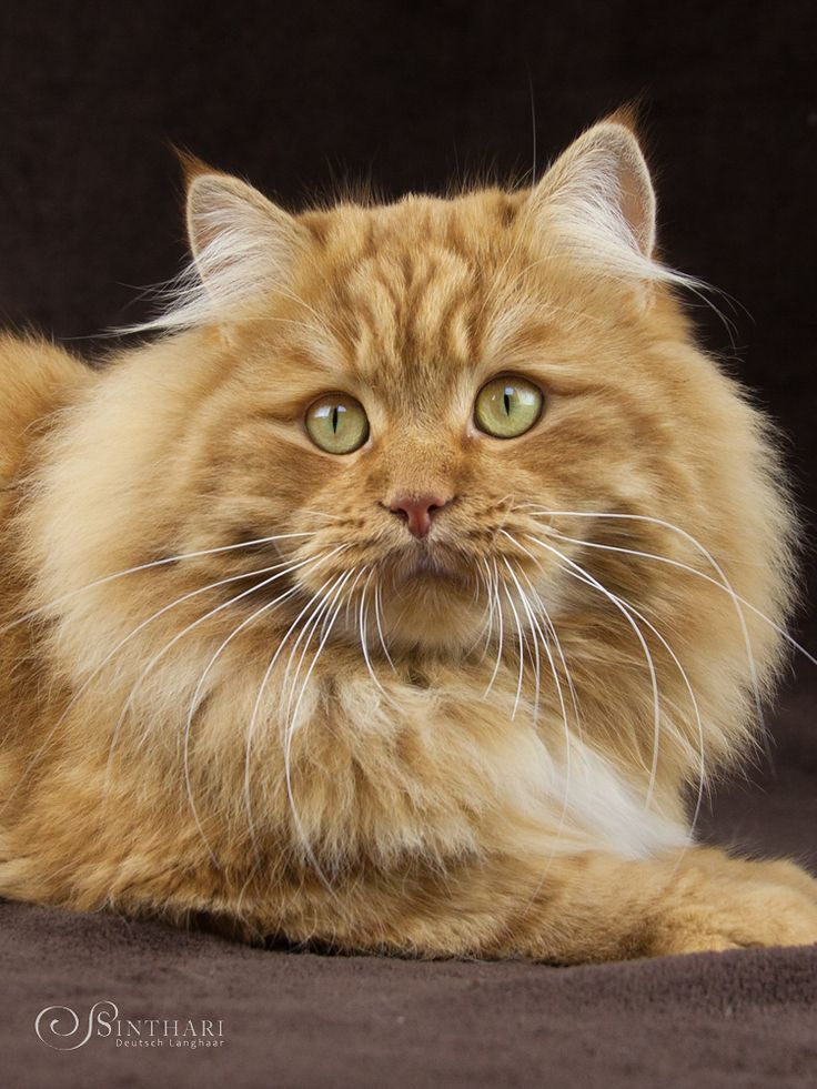 Deutsch Langhaar Von Sinthari Katzen Sibirische Katze Schonen Katzen
