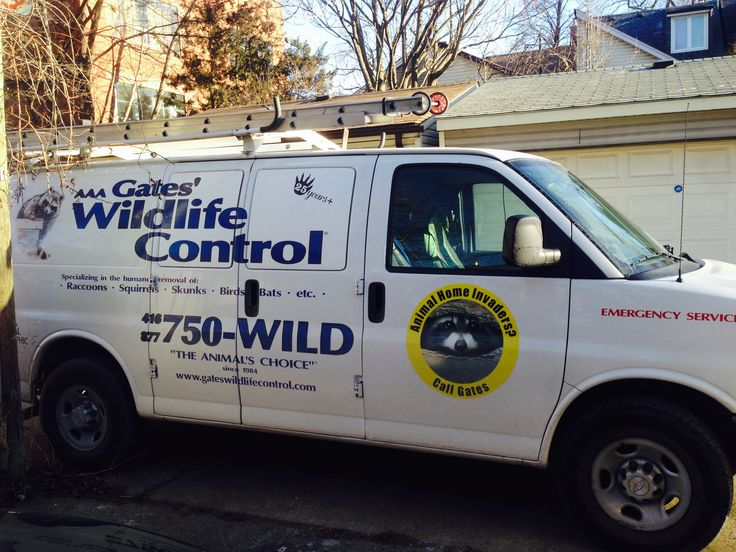How to get rid of raccoons in the attic Getting rid of
